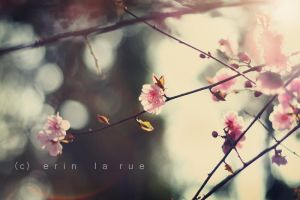 Cherry blossoms by SoraBelle
