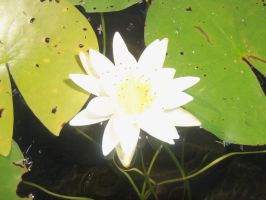 Water Lily by Shadowkat10