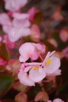 pink_flowers by jrbamberg
