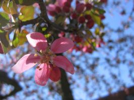 pink crab apple flowers 03 by CotyStock