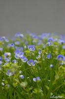 Violets by lynsea