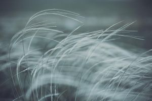 feather grass by piesong