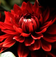 Red Chrysantheme by MariaDeinert