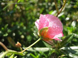 rock rose in the morning dew by ilura-menday-less