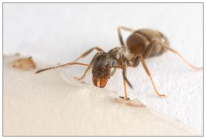 Drinking Ant 2 by EdwinBont