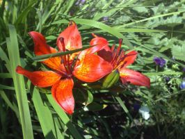 The Tiger Lilies by Metalliana