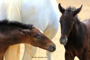 Young Lipizaner horses by jochniew