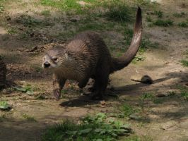 Northern River Otter 03 by animalphotos