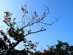 Bauhinia blakeana flower 2 by BlueCerise