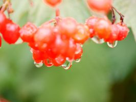 Tiny Red berries. by asaluiphotography