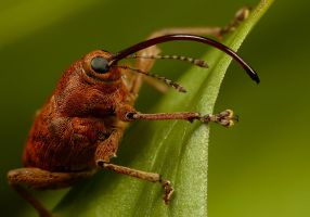 Weevil by Alliec