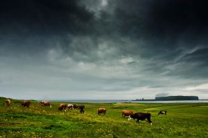 Iceland - mint with the cows by PatiMakowska