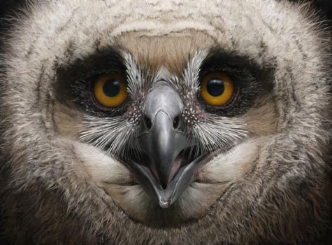 Eagle owl chick by Renum63