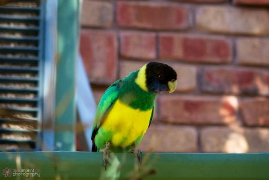 Yellow Ring Neck Parrot by kell01