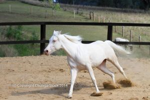 Kr Arabian canter side view cremello by Chunga-Stock