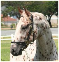 Portrait of an Appaloosa by Inyoni
