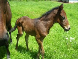Chocolates Colt by cattlebaron1