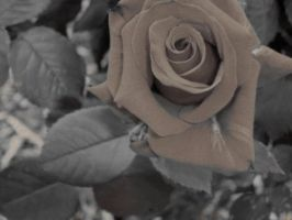 I dub thee the POTO Rose by Eadlin