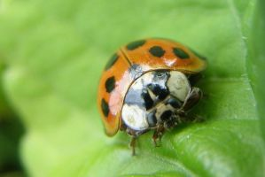 ladybug by Lou-in-Canada