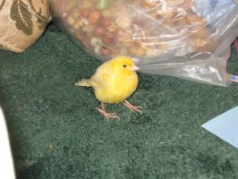 My Canary by Emane1983