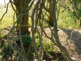 The old vines by Kayleigh-Kaz