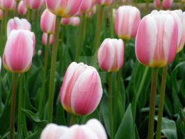 Tulips 9 by zaphotonista