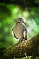 Blue eyed pigeon i by Sula88