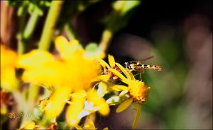 Hoverfly on Yellow by BFGL