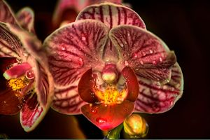 orchid by 19andrea87