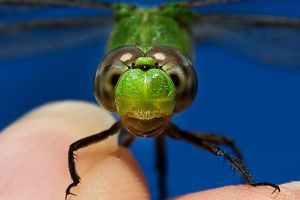 The Green Dragonfly Up Close by lifeinedit