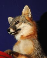 Cute little Gray Fox by Meddling-With-Nature