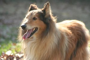 Sunset Collie Seventeen by CarissaGagashi