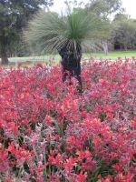 Kangaroo Paw and a Grass Tree by GrumpySnapper