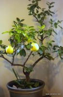 Ancient Houseplant with fruit by tarpalsfan