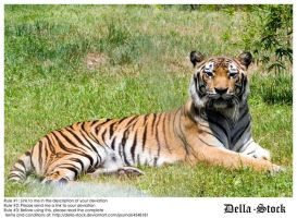Reclining Tiger by Della-Stock