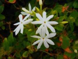 White star flowers by willow1894
