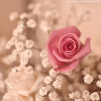 Softness pink rose by FrancescaDelfino