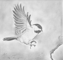 Black Capped Chickadee by Silverwing11