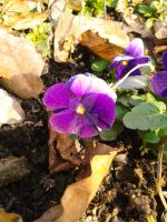 Pansy flower by AloneJane