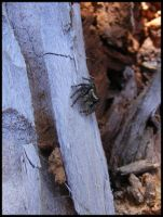 Jumping Spider by BJM121