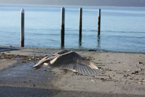 Seagull 13 by THE-WEATHERED-RAVEN