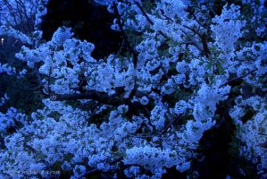 Our Cherry tree this evening by wiebkerost