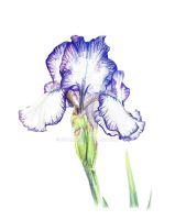 Iris - Coloured Pencils - 1 by Namiiru
