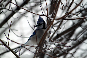 Winter Blue Jay by your-mom--burn