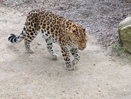 Amur Leopard by quentinwrites