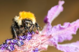 Bee on Lavender by gmwebs