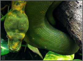 Green Tree Python Portrait (Morelia viridis) by IcySkadi