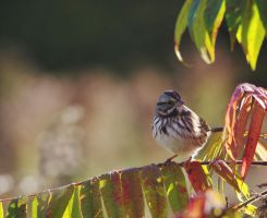 Song Sparrow by barcon53