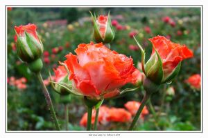Red Lace Lady Rose 001 by Eolhin
