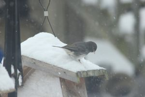 junco snow by Laur720